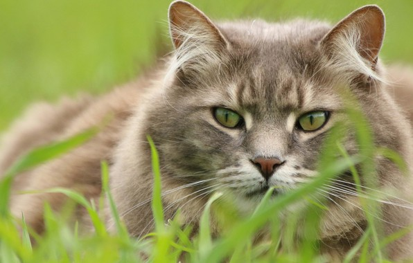 Картинка трава, кот, взгляд, мордочка, котэ