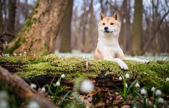Картинка лес, взгляд, морда, цветы, природа, парк, фон, дерево, поляна, мох, собака, весна, подснежники, щенок, бревно, …