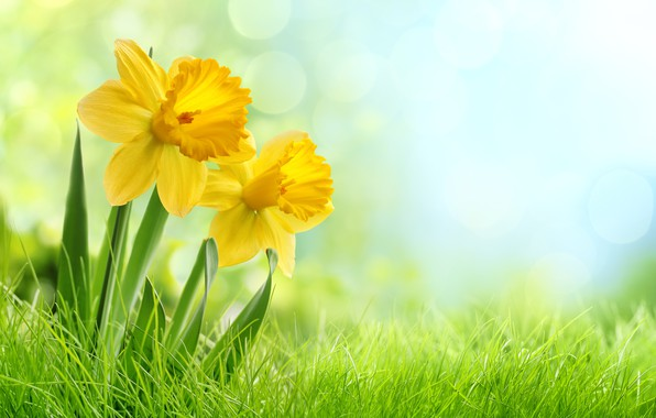 Картинка цветы, травка, нарциссы, кустик
