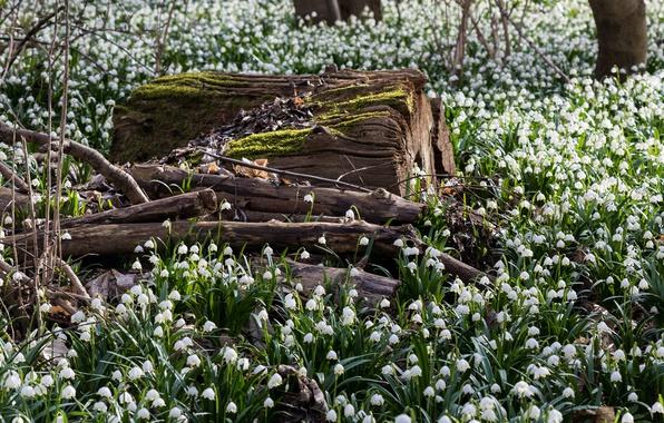 Картинка лес, цветы, поляна, весна, подснежники