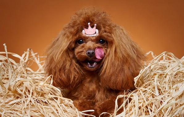 Картинка язык, портрет, корона, принцесса, Пудель, собачонка