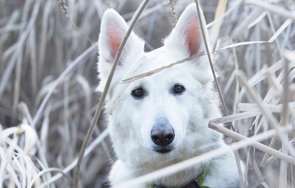 Картинка трава, взгляд, морда, собака, Белая швейцарская овчарка