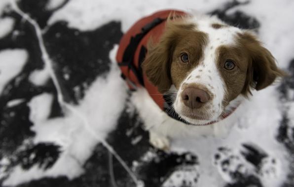 Фото обои фон, взгляд, собака