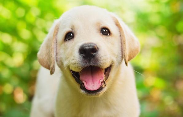 Картинка зелень, язык, глаза, взгляд, зеленый, фон, щенок, мордашка, милашка, веселый, боке, ретривер