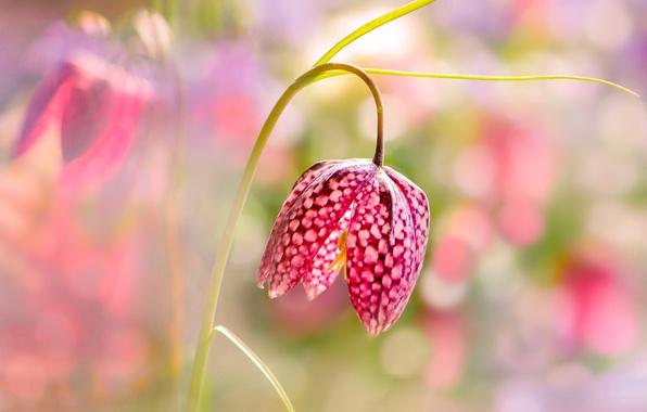 Картинка цветок, свет, боке, Шахматный рябчик