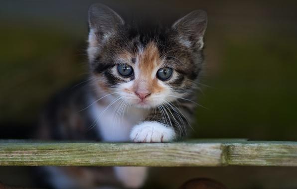 Картинка кошка, кот, взгляд, котенок, фон, портрет, размытие, малыш, мордочка, доска, котёнок, пестрый