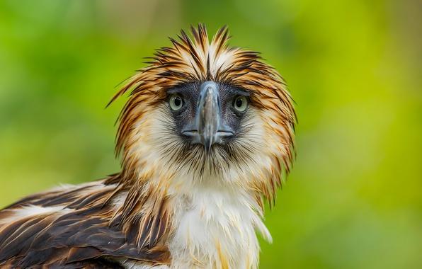 Картинка природа, птица, Philippine Eagle