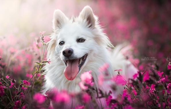 Картинка язык, морда, радость, цветы, собака, боке