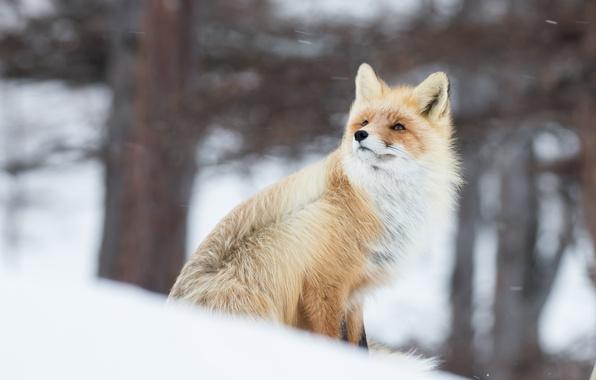 Картинка зима, снег, ветер, лиса, рыжая, боке