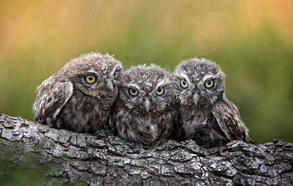 Картинка птицы, бревно, птенцы, совята