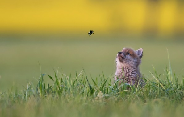 Картинка трава, фон, малыш, шмель, боке, лисёнок, знакомство