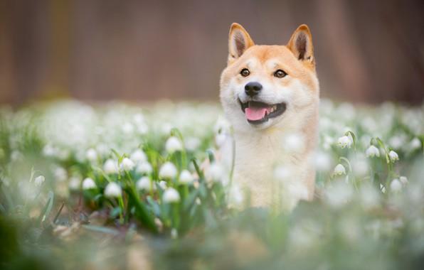 Картинка язык, взгляд, морда, цветы, природа, парк, фон, поляна, портрет, собака, весна, размытость, подснежники, щенок, красавчик, …