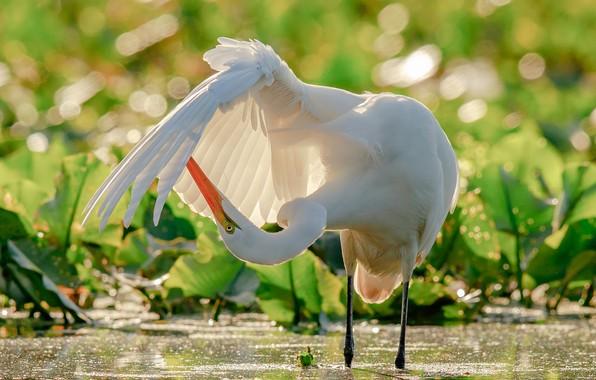 Картинка вода, птица, крыло, цапля, боке, Большая белая цапля