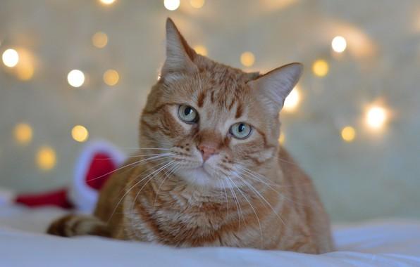 Картинка кошка, кот, морда, огни, фон, праздник, новый год, портрет, рыжий, постель, лежит, боке