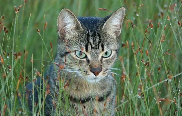 Картинка трава, кот, взгляд, роса, портрет, мордочка