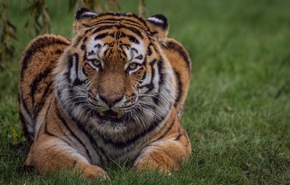 Картинка кошка, взгляд, природа, тигр, травка