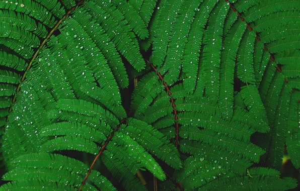 Картинка листья, капли, листва, листочки, капли воды, мимоза, зелень листьев, после додждя