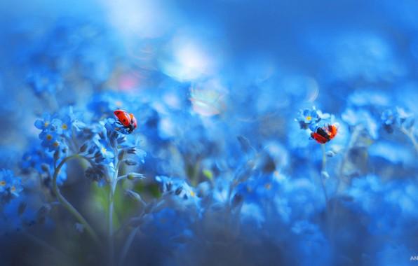 Картинка макро, божьи коровки, цвеТОЧНЫЙ, насекоиые, Анастасия Ри