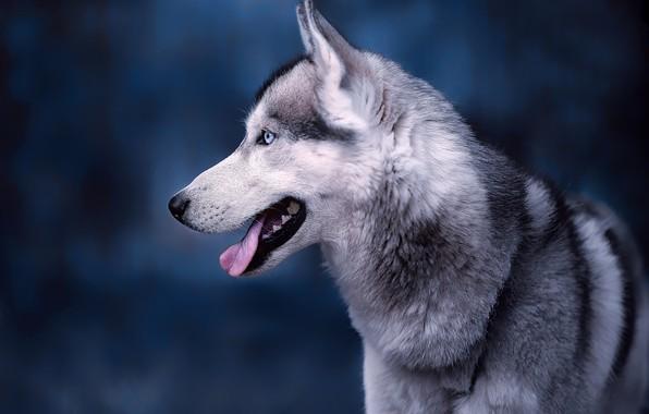 Картинка язык, морда, фон, портрет, собака, профиль, Хаски