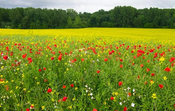Картинка зелень, поле, лес, лето, трава, солнце, деревья, цветы, маки, желтые, красные