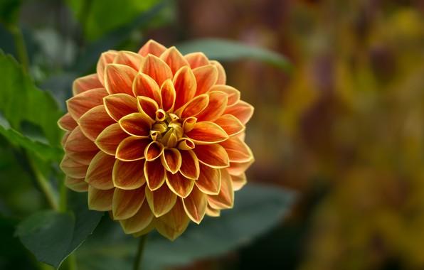 Картинка цветок, лепестки, сад, георгина