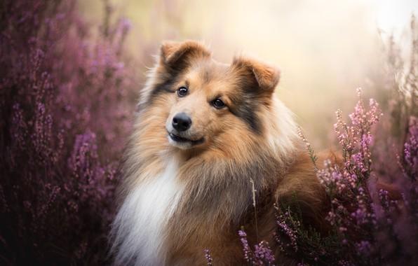 Картинка взгляд, морда, портрет, собака, Шелти, вереск, Шетландская овчарка