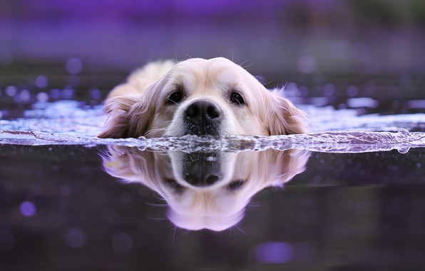 Картинка вода, животное, собака, голова, пловец, пёс, боке, ретривер