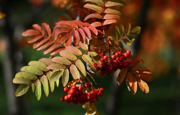 Картинка осень, листья, макро, красота, россия, рябина, этюд