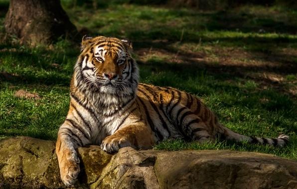 Картинка зелень, трава, вода, деревья, тигр, камни, хищник, лежит, отдыхает, боке