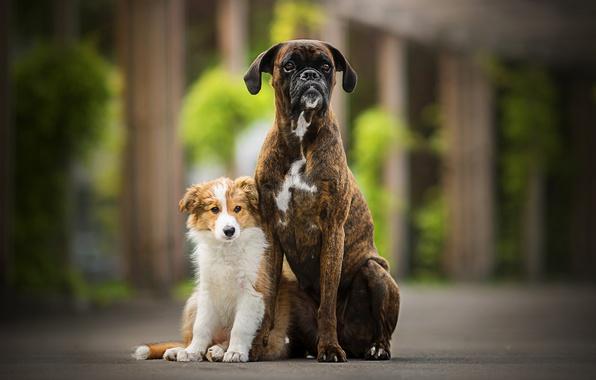 Картинка боке, две собаки, Sunny, Tini
