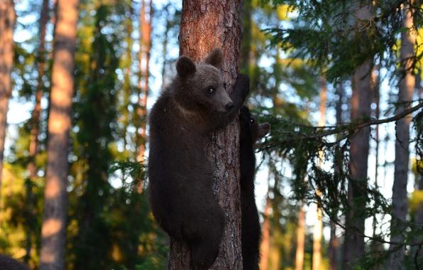Картинка лес, деревья, дерево, медведи, медвежата, мишки