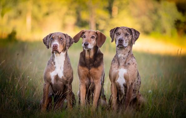 Фото обои собаки, друзья, трио