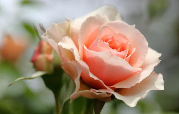 Фото обои роза, бутон, лепестки, макро, боке