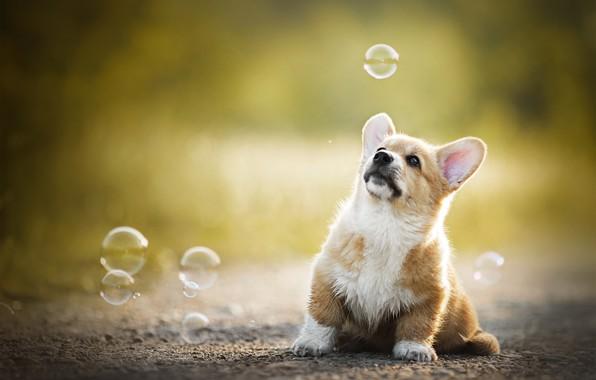Картинка малыш, мыльные пузыри, щенок, боке, пёсик, Вельш-корги