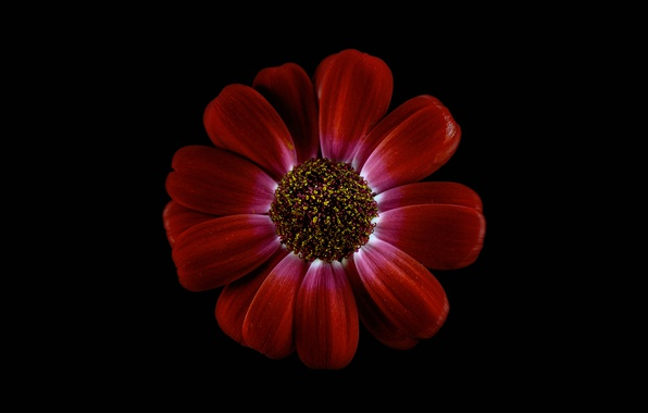 Картинка цветок, фон, лепестки, хризантема