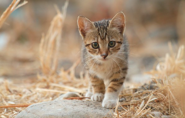 Фото обои солома, смотрит в камеру, полосатый котёнок