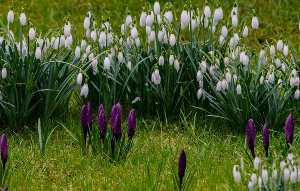 Картинка зелень, трава, цветы, весна, подснежники, крокусы, капли росы