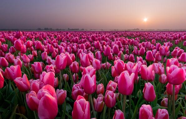 Картинка поле, закат, тюльпаны, Нидерланды, бутоны, много