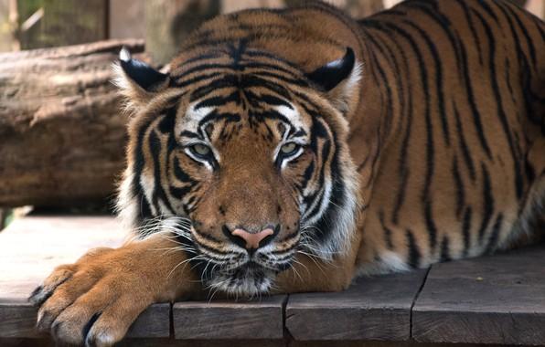 Картинка кошка, взгляд, морда, тигр, доски, портрет, лапы, лежит, дикая