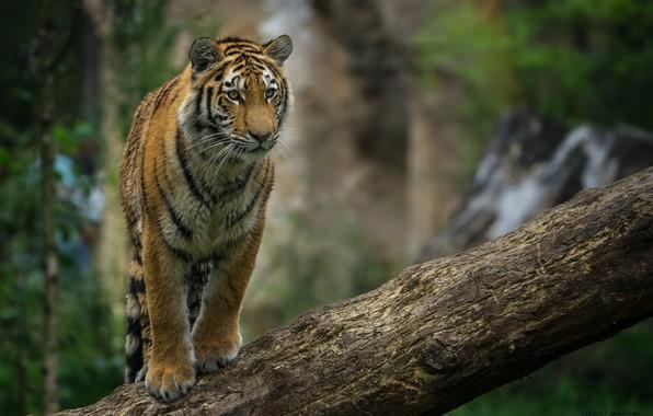 Фото обои тигр, хищник, позирует, бревно, детёныш, дикая кошка, молодой