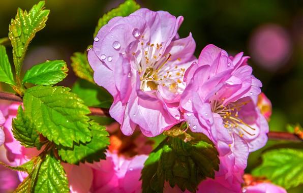 Картинка макро, вишня, ветка, Сакура, цветение, цветки