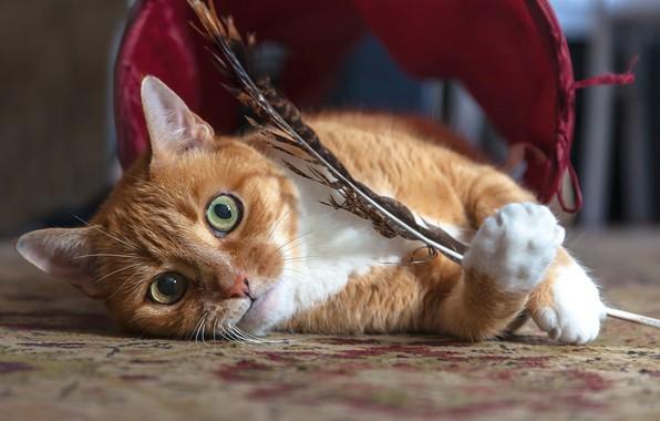 Картинка кошка, взгляд, перо, мордочка, рыжая