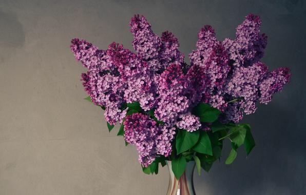 Картинка фиолетовый, цветы, зеленый, май, сирень, весеннее настроение, букет сирени