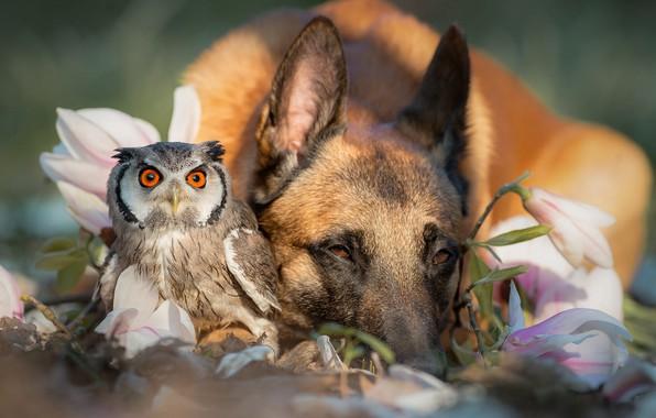 Картинка животные, цветы, природа, сова, птица, собака, весна, дружба, парочка, немецкая овчарка