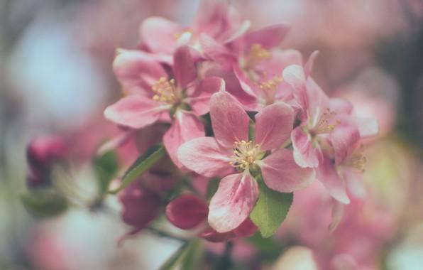 Картинка макро, ветка, весна, яблоня, цветение, цветки, боке