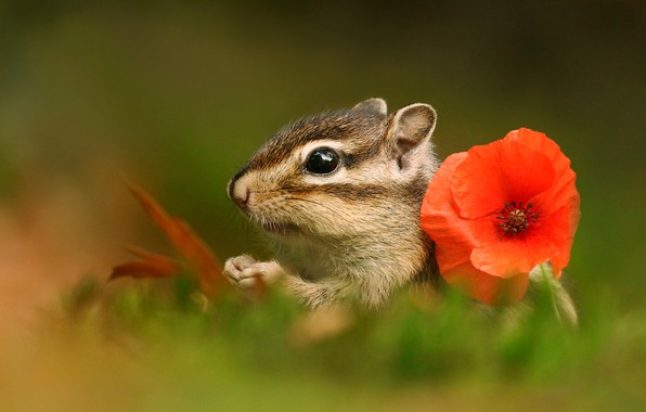 Картинка зелень, цветок, лето, трава, макро, красный, природа, мак, мордочка, бурундук, боке, зверёк