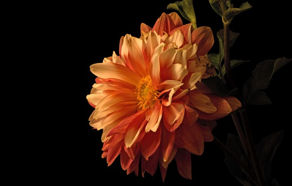 Картинка цветок, листья, макро, цветы, оранжевая, лепестки, стебель, черный фон, георгина