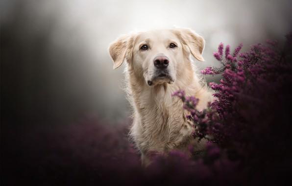 Картинка взгляд, фон, собака, вереск
