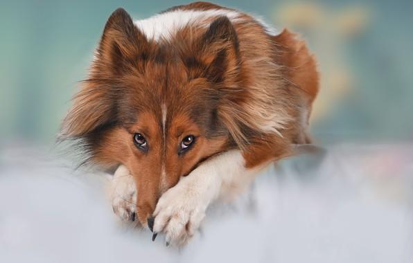 Картинка взгляд, морда, фон, собака, лапы, Шелти, Шетландская овчарка