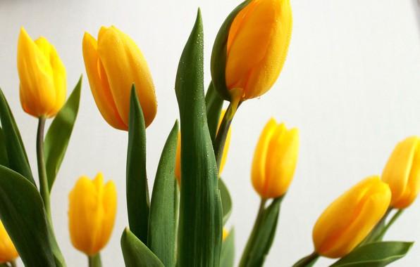 Фото обои зелень, капли, настроение, обои, Цветы, Солнце, красота, тюльпаны, background, желтые тюльпаны, яркие цветы, листья тюльпанов